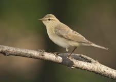 Певчая птица вербы (trochilus Phylloscopus) Стоковые Изображения