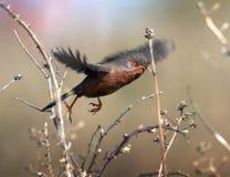 Певчая птица Дартфорда в полете стоковые фотографии rf