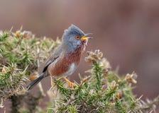 Певчая птица Дартфорда - петь undata Сильвии стоковые изображения