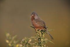 Певчая птица Дартфорда, undata Сильвии, стоковое изображение rf