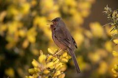 Певчая птица Дартфорда, undata Сильвии, стоковые фотографии rf