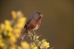 Певчая птица Дартфорда, undata Сильвии, стоковое изображение