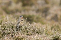 Певчая птица Дартфорда (undata Сильвии) стоковые изображения
