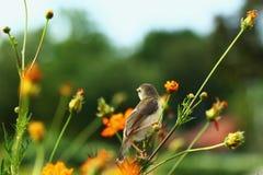 Певчая птица малая, птицы Стоковое Фото