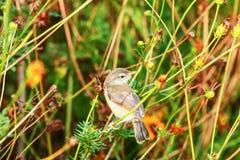 Певчая птица малая, птицы Стоковая Фотография RF