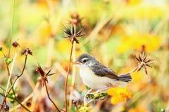 Певчая птица малая, птицы Стоковое Изображение RF