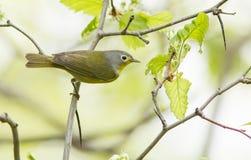 Певчая птица Нашвилла Стоковое Изображение