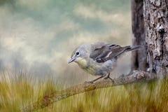 Певчая птица на ветви сосны стоковое изображение rf