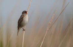 Певчая птица осоки. Стоковое Изображение