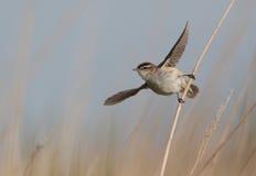 Певчая птица осоки. Стоковые Фото