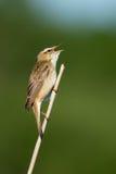Певчая птица осоки Стоковое Изображение RF