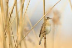 Певчая птица осоки, schoenobaenus настоящей камышевки, петь садить на насест в a Стоковые Фото