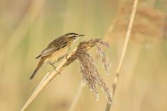 Певчая птица осоки, schoenobaenus настоящей камышевки, петь садить на насест в a Стоковые Фотографии RF