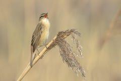 Певчая птица осоки, schoenobaenus настоящей камышевки, петь садить на насест в a Стоковые Изображения