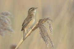Певчая птица осоки, schoenobaenus настоящей камышевки, петь садить на насест в a Стоковые Изображения RF