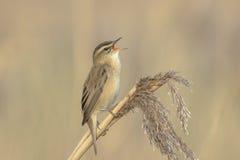 Певчая птица осоки, schoenobaenus настоящей камышевки, петь садить на насест в a Стоковое Изображение