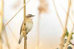 Певчая птица осоки, schoenobaenus настоящей камышевки, петь садить на насест в a Стоковое Фото