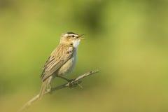 Певчая птица осоки, schoenobaenus настоящей камышевки, поя Стоковая Фотография