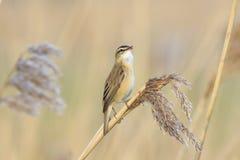 Певчая птица осоки, schoenobaenus настоящей камышевки, садить на насест петь птицы Стоковая Фотография RF