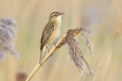 Певчая птица осоки, schoenobaenus настоящей камышевки, садить на насест петь птицы Стоковое фото RF