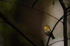Певчая птица петь деревянная в темном лесе Стоковые Изображения