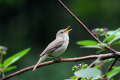 Певчая птица петь Blyth камышовая Стоковая Фотография