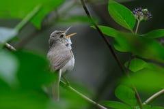 Певчая птица петь Blyth камышовая Стоковое Изображение RF