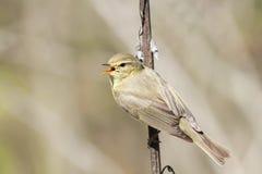 Певчая птица поя среди молодой зеленой листвы в предыдущей весне Стоковая Фотография