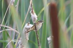 Певчая птица птицы сидя на cattail травы на пруде в лете Стоковые Фотографии RF