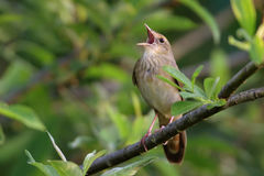 Певчая птица реки стоковое изображение
