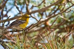 Певчая птица сосны Стоковое Изображение RF