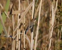 Певчая птица Стоковая Фотография