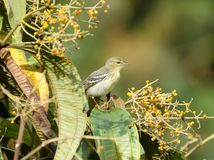 Певчая птица 01 Blackpoll Стоковые Изображения RF