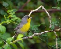 Певчая птица Oriente Стоковое фото RF