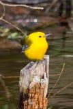 Певчая птица Prothonotary стоковое фото