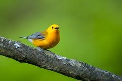 Певчая птица Prothonotary Стоковые Изображения