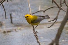 Певчая птица Prothonotary Стоковые Фотографии RF