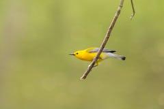 Певчая птица Prothonotary Стоковые Изображения RF