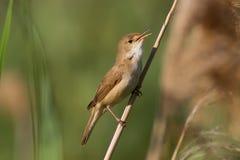 Певчая птица Reed европейца Стоковые Изображения