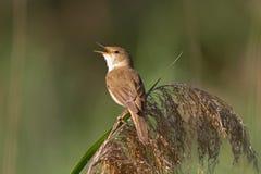 Певчая птица Reed на Reed Стоковая Фотография