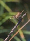 Певчая птица Reed с dragonfly Стоковые Изображения