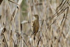 Певчая птица Reed Стоковое Изображение
