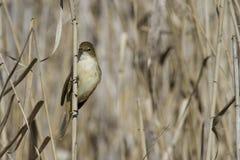 Певчая птица Reed Стоковая Фотография