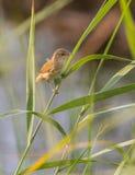 Певчая птица Reed eurasian садить на насест на камышовом заводе Стоковые Фотографии RF