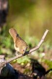 Певчая птица Reed eurasian Стоковое Изображение RF