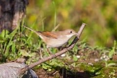 Певчая птица Reed eurasian Стоковые Фото
