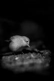 Певчая птица Reed eurasian Стоковые Изображения