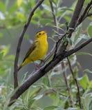 Певчая птица ` s Уилсона в Аляске стоковые фотографии rf