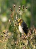 Певчая птица ` s Brewster первого поколения в солнечном свете стоковое изображение