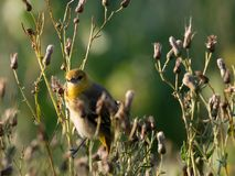 Певчая птица ` s Brewster первого поколения смотря камеру стоковое изображение rf